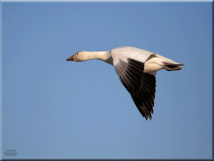 Chuck-Rondeau-Goose-Photography