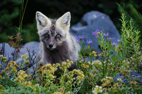 Cascade Red Fox Mt. Rainer N.P., WA By Kim Weissenfals