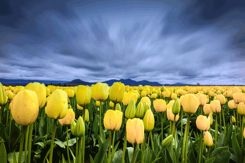 Bloom Skagit Tulip Fields, WA By Gizle Manchester