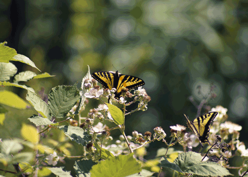Swallowtail on a Flower Padilla Bay, WA By Laura Tucker
