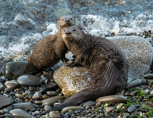 Adult and Young River Otter Port Angeles, WA By Mary Campbell