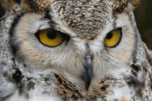 Portrait of a Barred Owl Gardiner, WA By David Soder