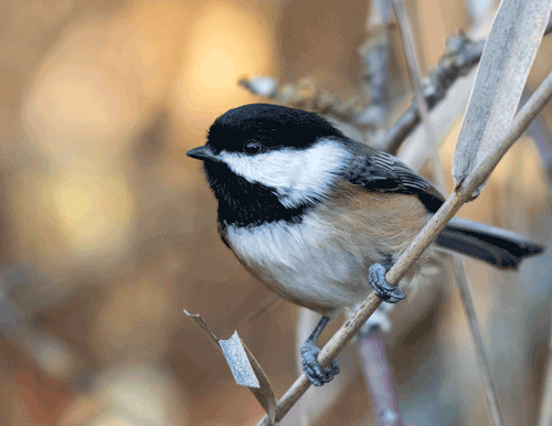 Black-capped Chickadee Ladner, B.C. By Ken Campbell