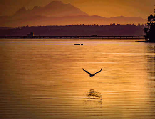 Morning Bald Eagle Flight Lofall, WA By Sarah J. Scott