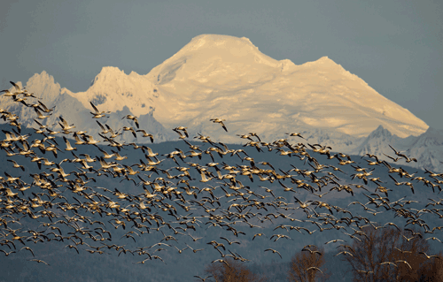 Snow Geese in Front of Mt. Baker Skagit Valley, WA By Joseph Molotsky