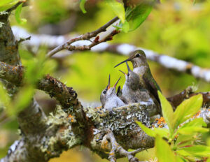 Deb Schouten Annas Hummingbird with Chick Port Angeles WA
